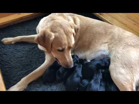 Rugby Newborn British Labrador...
