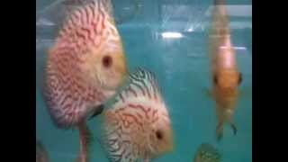 discus fish vietnam checkerboard aquarium fishes for sale mumbai 9833898901