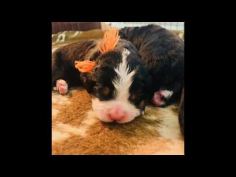 Seven Day Old Bernese Mt. Dog Growing Puppies - Ovation's puppies