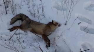 Охота на лису на манок (крик зайца) 2017