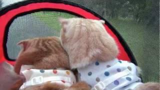 愛用のカートで近所の公園へ。 ブログ「耳折れ兄弟」 The Scottish Fold...