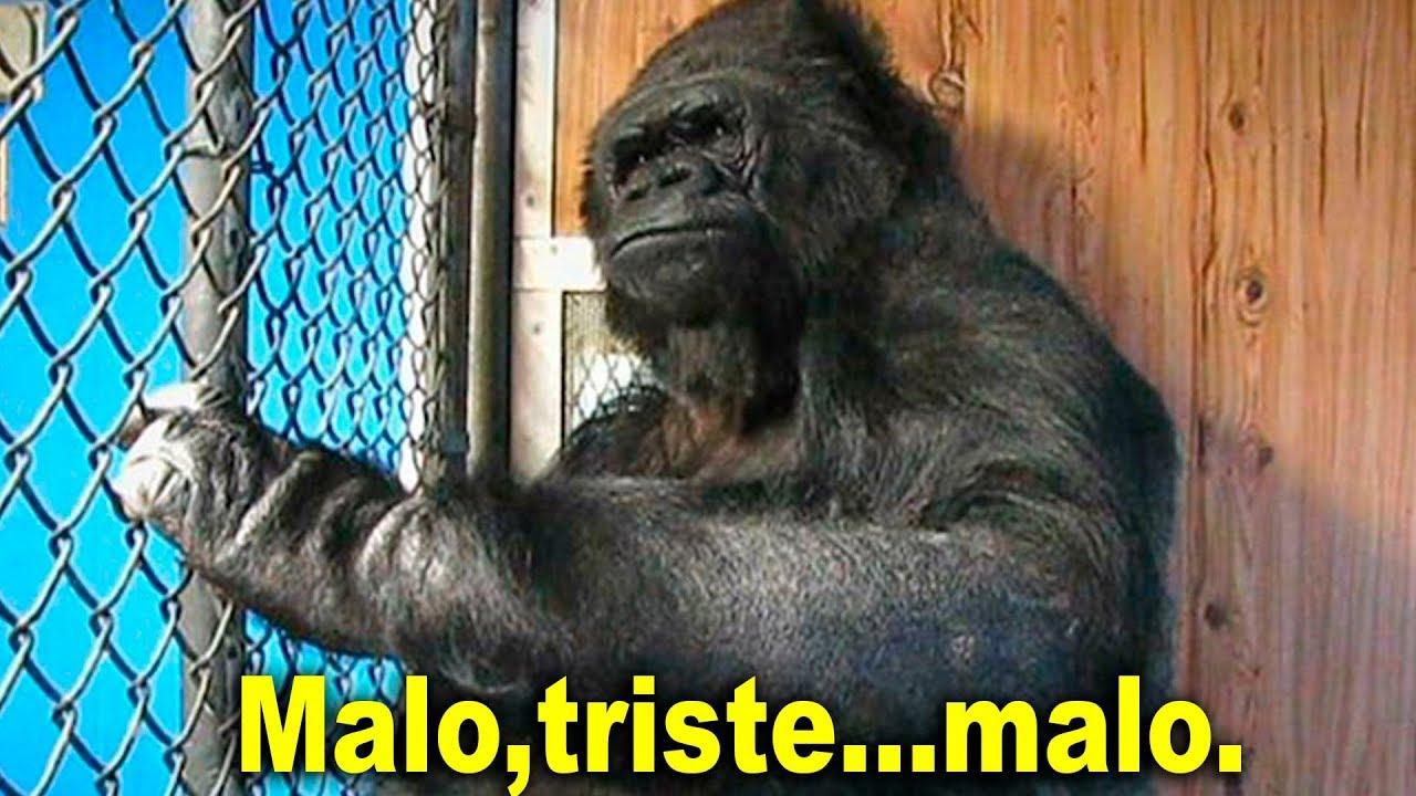 la-sorprendente-gorilla-que-hablaba-con-humanos-historia-de-koko