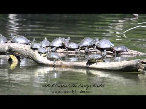 Trachemys scripta elegans   RED-EARED SLIDER large groups joined by Wood Ducklings