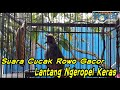 Suara Cucak Rowo Gacor Lantang Ngeropel Keras  Mp3 - Mp4 Download