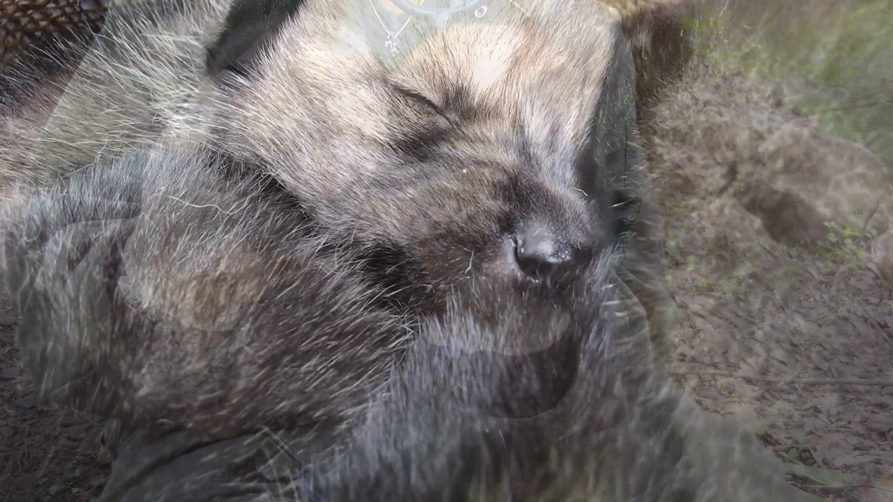 Mexican Gray Wolf Pups: Elusive. Endangered. Extremely Cute.