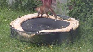 Fox cub Playing on trampoline