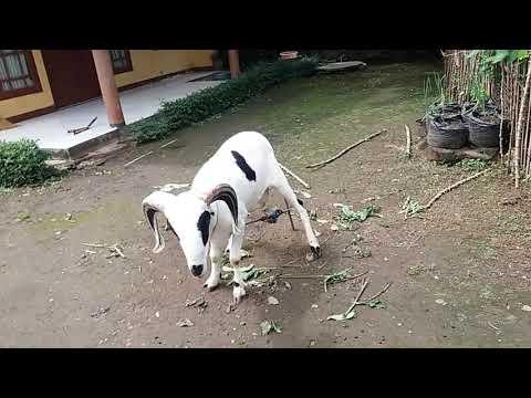 domba-garut-jantan-mau-makan---vlog-2-pulang-kampung