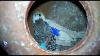 WHOLE BUDGIES SETUP OF AHMAD BHAI FOR SALE l ALL BREEDER PAIRS