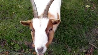 Голландские козы.