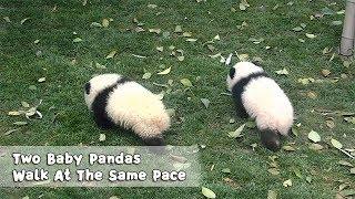 いちに、いちに、同じペースでとことこ歩くよ!仲良くお散歩するシンクロナイズド子パンダズ