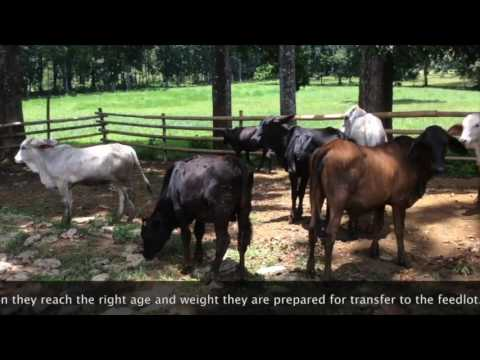 Philippine Angus Cattle now in other Provinces