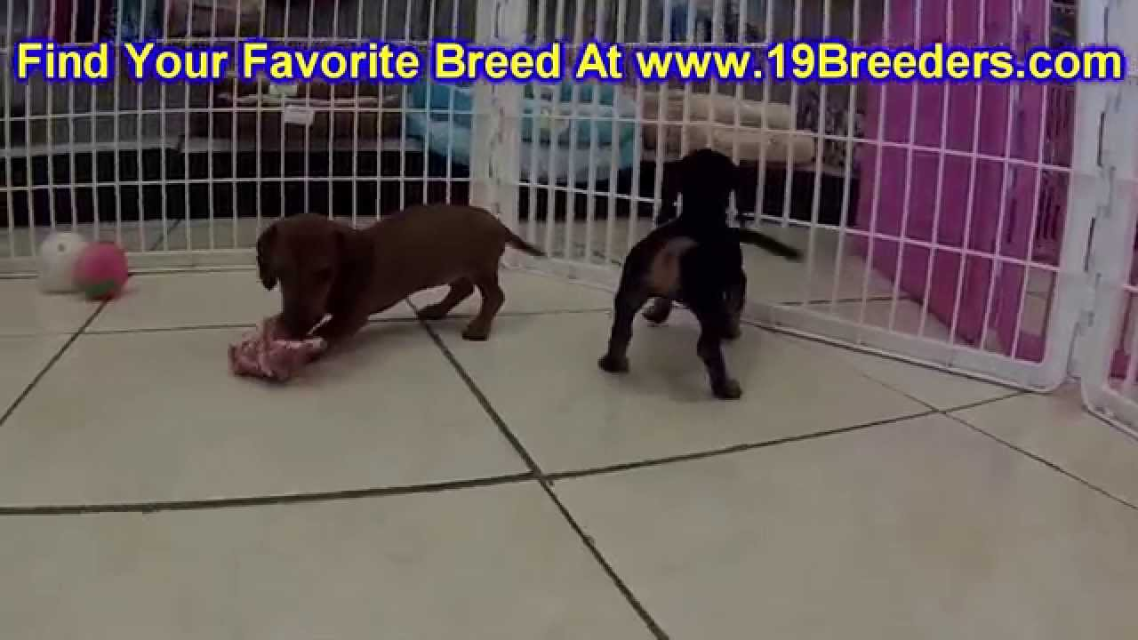 Miniature Dachshund, Puppies, Dogs, For Sale, In Charleston, West Virginia,  WV, 19Breeders
