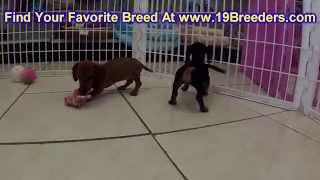 Miniature Dachshund, Puppies, For, Sale, In, Jacksonville,florida, Fl,tallahassee,gainesville,