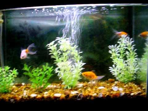 Mi acuario y mis peces goldfish nadando en su pecera youtube for Peces goldfish tipos