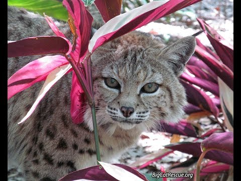 Tiger Lilly Bobcat Goes Home