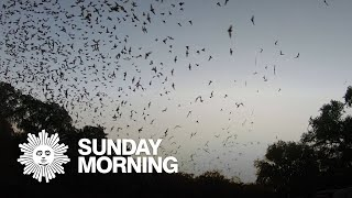 Nature: Bat swarm