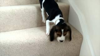 Franklin The Beagle - Meet Franklin