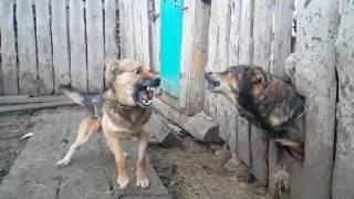 драка собак в замедлении