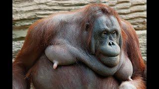 Смешные обезьяны. Орангутан.  Animals & fish.