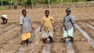 Sugarcane Cultivation Process in India | Village People working Faster than Machine | Wild Food