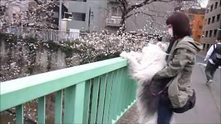 文京区の神田川沿いの江戸川橋公園の桜が、突然、開花して、満開に近く...