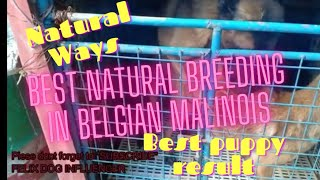 Belgian Malinois Best Dog Breeding in Natural ways