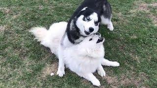 Самоед не в восторге от игры с хаски! Вес и размер собаки решают?