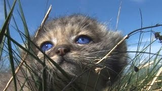 Котята манула Pallas Cat cubs