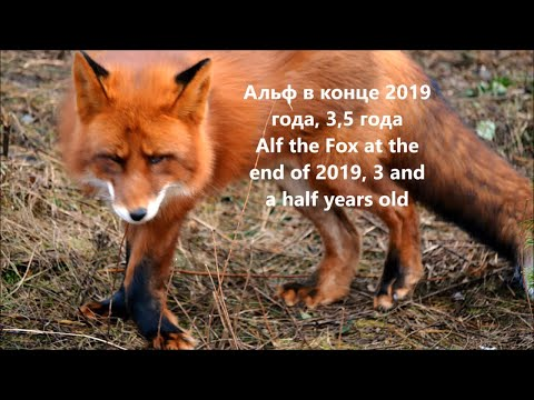 FOXY NEWS The Latest Health News About Alf The Fox