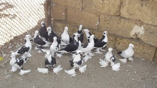 Агасиевские голуби ( Агаси Каэахецян , Евпатория, Украина )