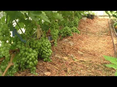 Виноград в теплице За и Против