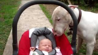 Bull Terrier Attack