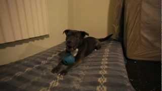 Love-a-bull: Pit Bulls Adoption In St. Louis | Gateway Pet Guardians