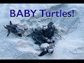 Loggerhead Sea turtles hatching