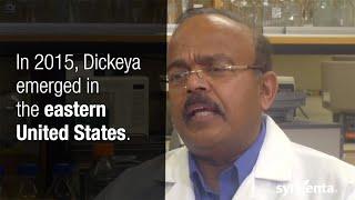 Dickeya on Potato Seed