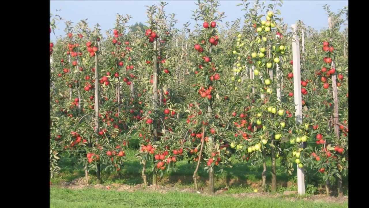 Яблони для выращивания на шпалере 99