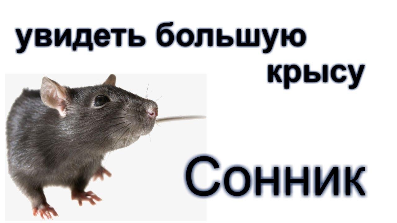 Крыса – не самое приятное животное, поэтому многие, не заглядывая в различные толкователи, считают сон недобрым.