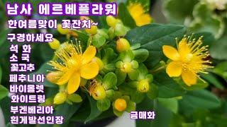남사 에르베플라워의 한여름맞이 꽃잔치#부겐베리아#금매화…
