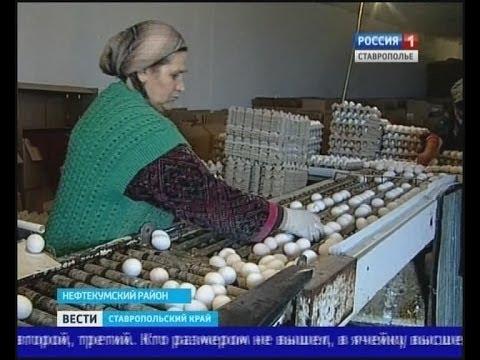 """Почему ставропольские куры стали нести """"золотые"""" яйца?"""