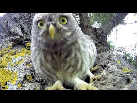 Bébé Chouette Attaque - Cute Baby Owl Attack !
