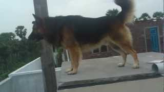 German Shepherd Aggressive Barking