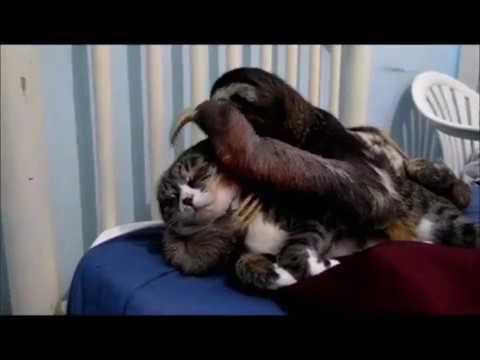 Sloth and cat / Gato com preguiça / Sloth Prince and her best friend Daisy