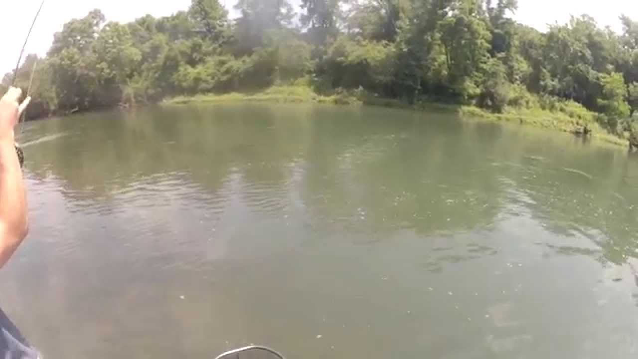 Striper chasing 17 rainbow trout on the clinch river tn for Clinch river fishing