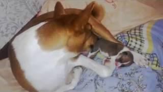 Басенджи Венди стала мамой))))).Ульяновск . Basenji Wendy became a mother