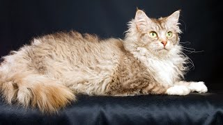 10 Most Exotic Cat Breeds in Existence