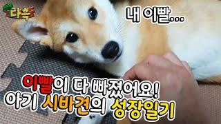 강아지 이빨이 빠졌어요ㅋㅋㅋㅋ 시바견의 성장