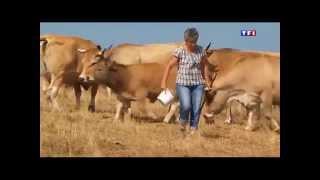 L'Aubrac et la race de vaches Aubrac