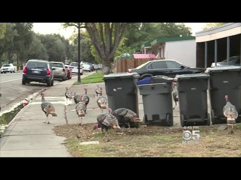 Wild Turkeys Get Aggressive In Fremont Neighborhood