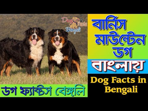 Bernese Mountain Dog facts in Bengali | Most popular dog breeds | Dog Facts Bengali
