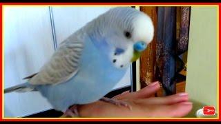 Волнистый попугай Тоша, самый умный и хитрый попугайчик в мире 😜